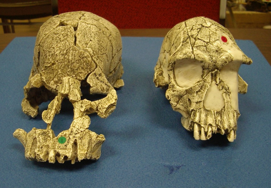Two hominid skulls placed side by side for comparison